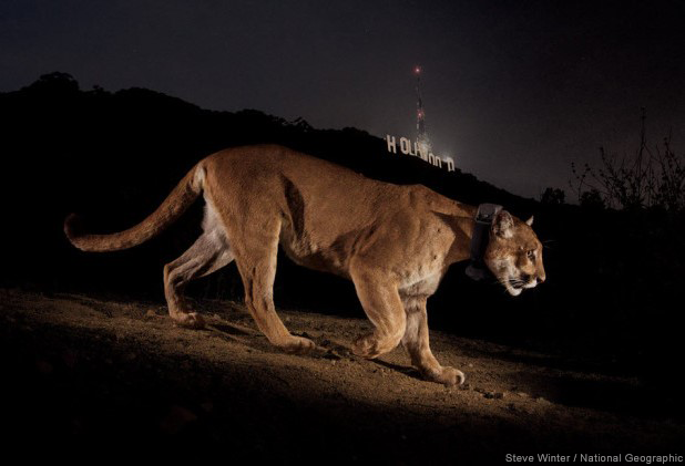 Cougar HollywoodSign SteveWinterNatGeo