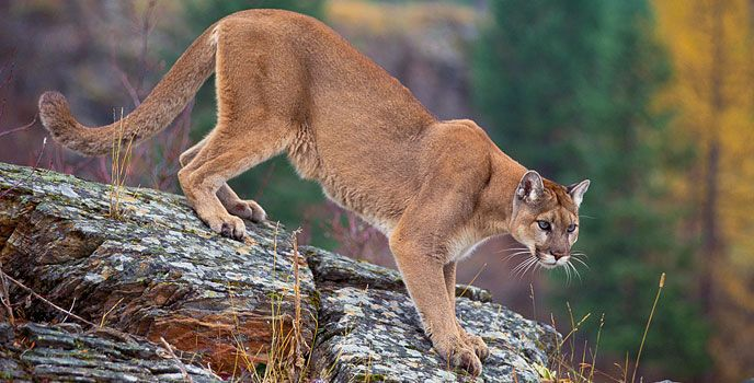 MountainLion Cover CourtesyUSFS 688x344