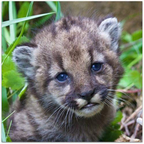 P 45 Female cub sheilakuehlphoto