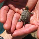 Small turtle_1