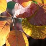 Autumn Leaf_1